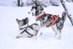 Piedzīvojumu brauciens sniega suņu pajūgā Ogrē