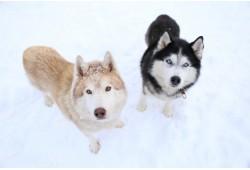 Tõukekelgu matk Siberi huskydega Anija