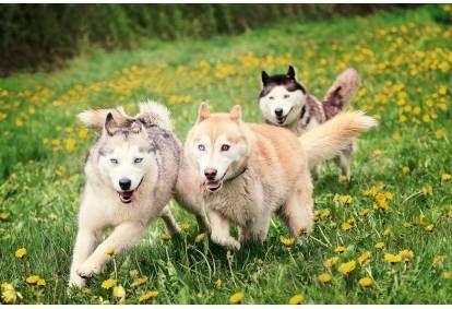 Поход для группы с ездовыми собаками - хаски на природной тропе Цецилю